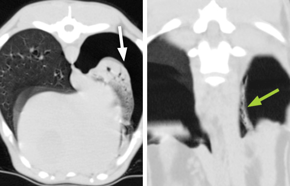 The image on the left shows a relatively normal lung (on the left of the image) and a lung that is collapsed (white arrow). The collapsed lung is also affected by pneumonia. In the image on the right, a small straight lesion was found loose in the cavity in which the lung is housed. This was a grass seed (green arrow) which was removed surgically by one of Willows soft tissue surgical Specialists. This grass seed would not have been seen on a normal X-ray.