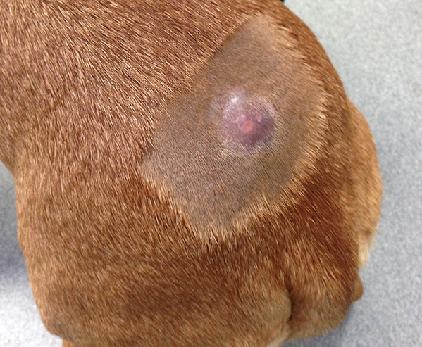 Canine Mast Cell Tumours