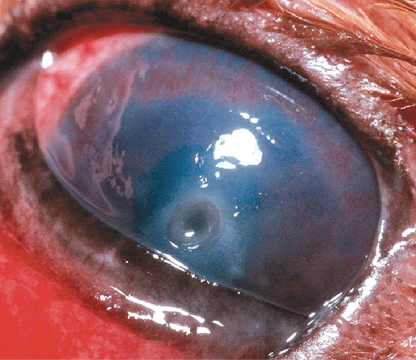 A deep corneal ulcer in a Cavalier King Charles Spaniel