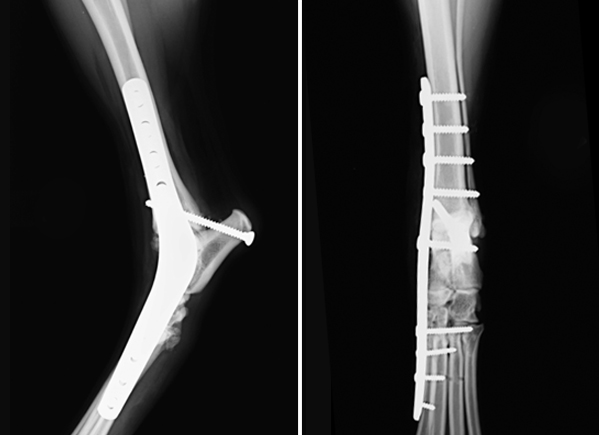 Arthrodesis Fusion Of A Joint In Dogs And Cats