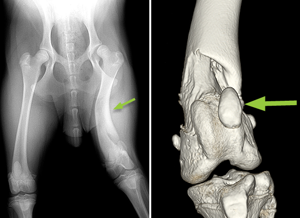 X-ray and CT scan of a Labradoodle showing deformity (bending) of the femur (thigh bone) (small arrow). The 3-dimensional CT scan enables the structure of the stifle (knee joint) to be assessed. In this dog the patella (knee cap) is displaced from the groove in the femur (large arrow).