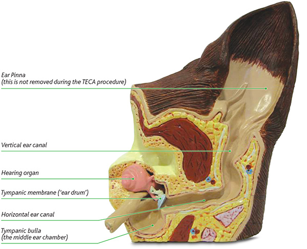 Figure 1 - shows a model of a normal ear canal and internal anatomy